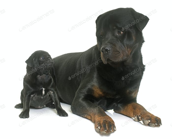 puppy black pug and rottweiler