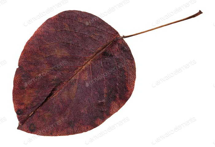 rotten autumn leaf of pear tree isolated