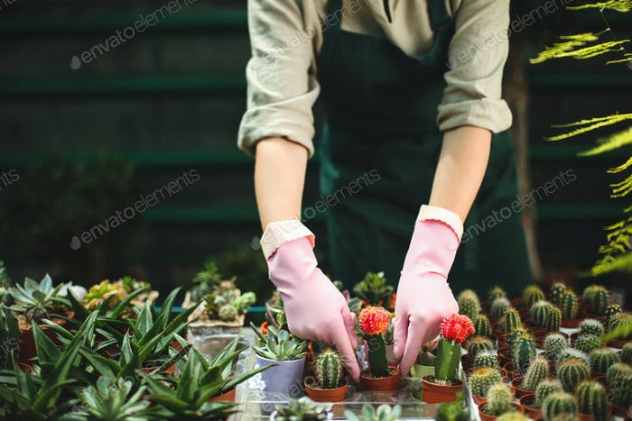 Close up woman hands in pink gloves caring about little cactus flowers in pots in greenhouse