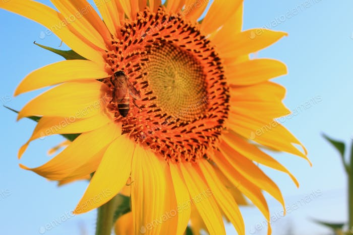 Sunflower on plant