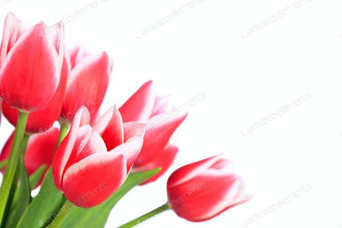 Rred tulips