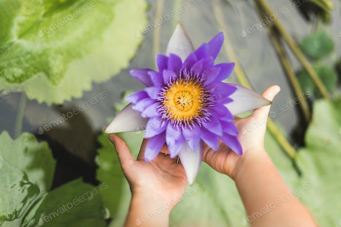 Blaue Seerose in menschlichen Händen auf grünem Hintergrund. Symbol für Reinheit, Fülle, Harmonie