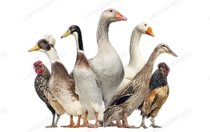 Group of Ducks, Geese and Chickens, isolated on white