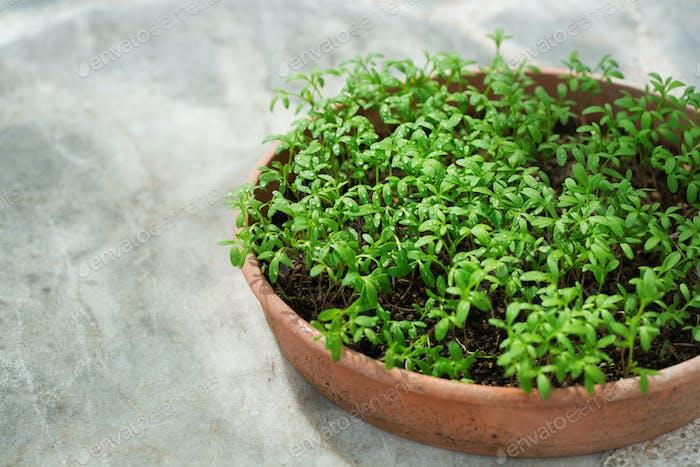 Homegrown Garten, grüne Sprossen von würzigen Kräutern