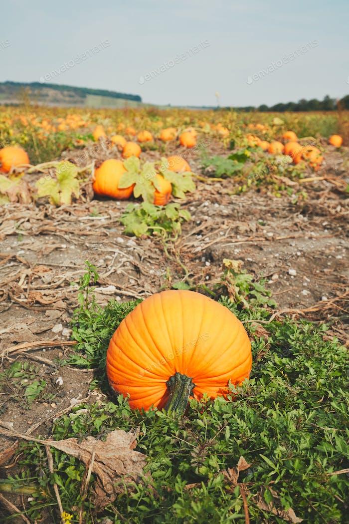 Ripe pumpkins on the field