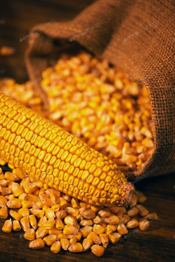 Harvested corn maize cob and grains