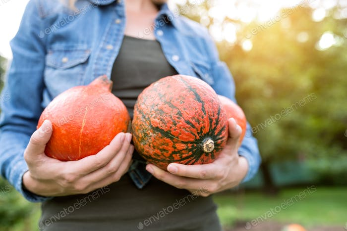 Unrecognizable woman in denim shirt, harvesting orange pumpkins