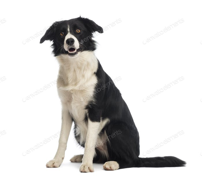 Border Collie, 8 months old, sitting and looking up in front of white background