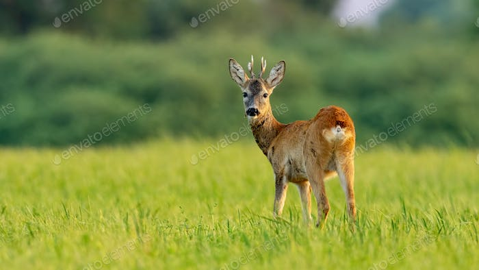 Young roe deer buck in summer at sunset with space for copy