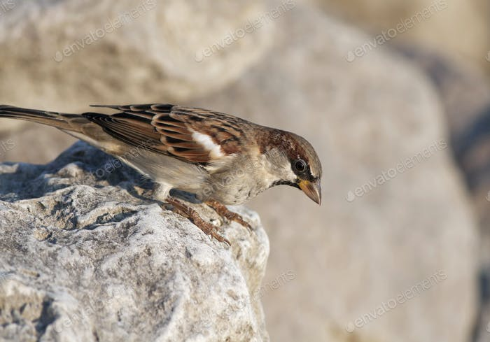 Common sparrow bird