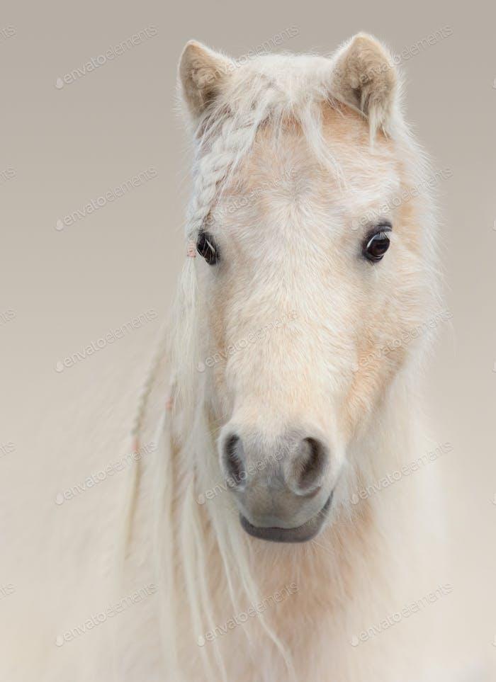 Portrait of palomino American Miniature Horse on pastel backgrou