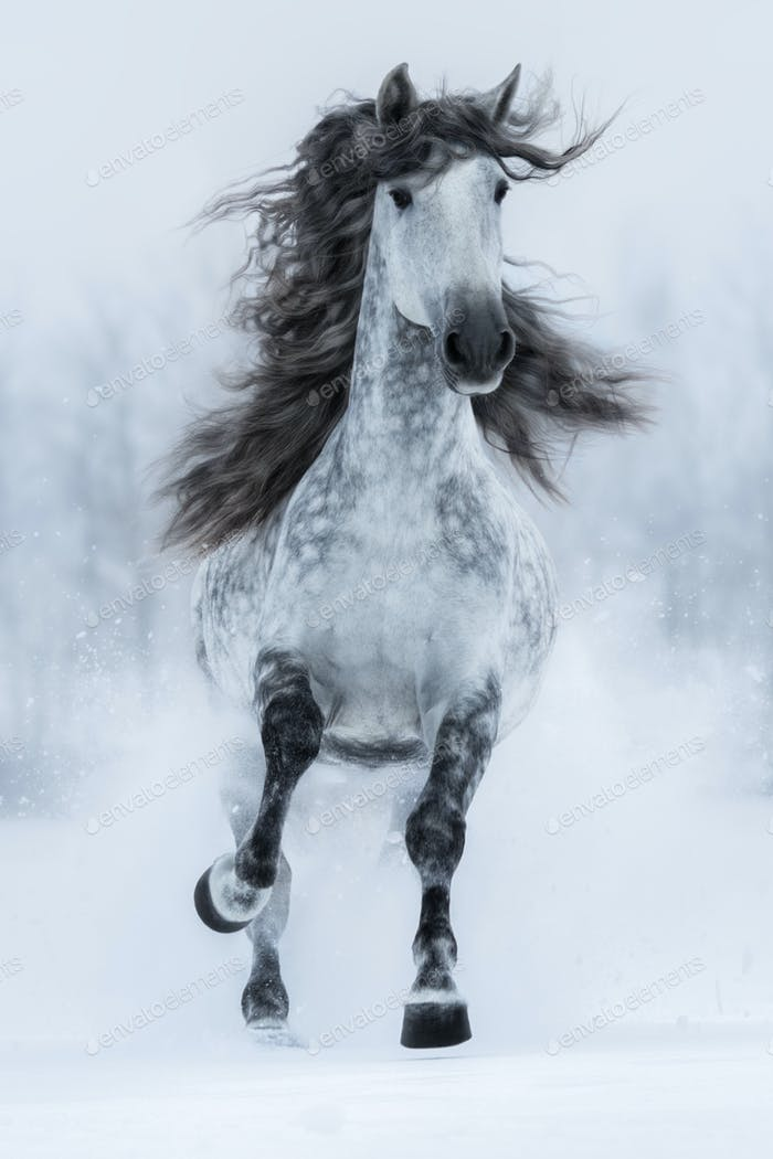 Galloping grey long-maned Spanish horse in winter.