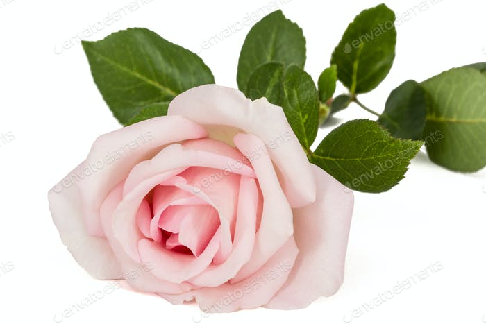 Pink flower of rose, isolated on white background