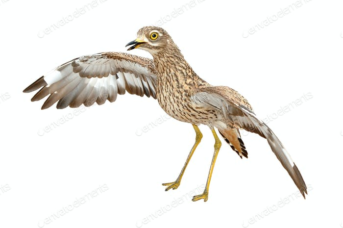 Angry Burhinus capensis - Spotted thick-knee isolated on white