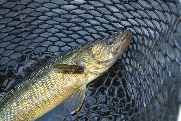 Walleye in a Landing Net