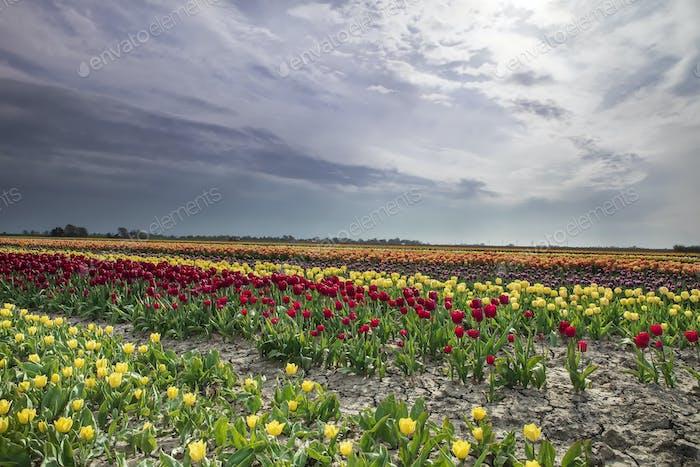 colorful tulip rows on Dutch farmland