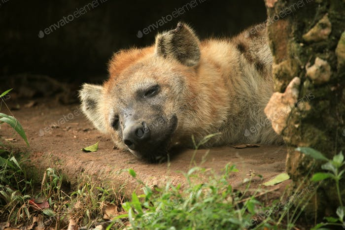 Hyena - African Wildlife