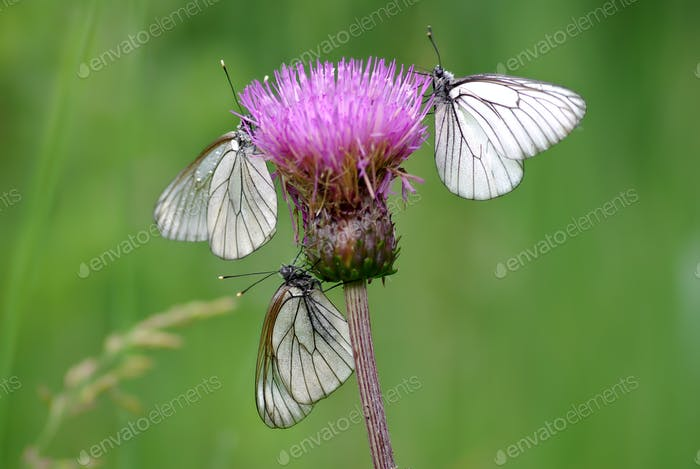 Three Black-veined White butterflies (Aporia crataegi)