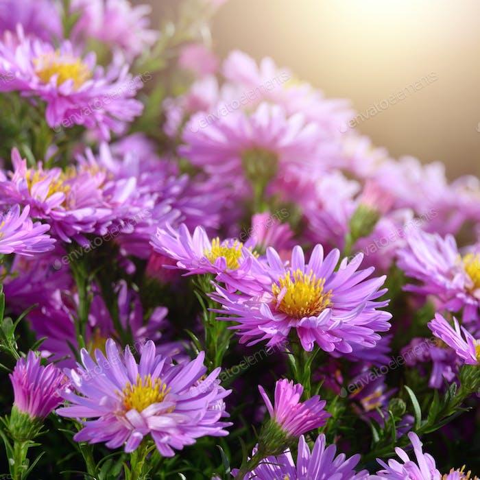 Asters Violetas