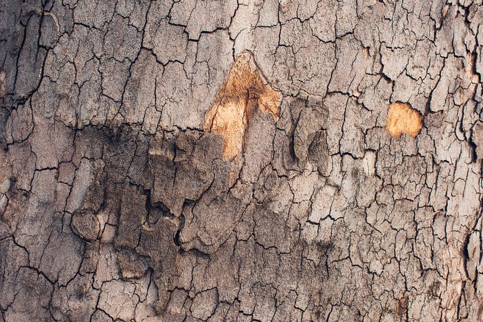 Maple tree bark crust