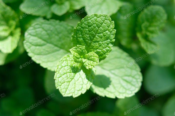 Peppermint mint twigs closeup