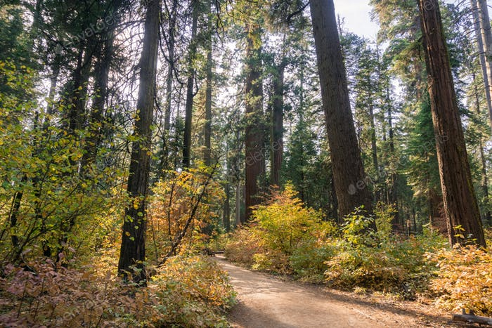 Trail through a forest painted in fall colors, Calaveras Big Trees State Park, California