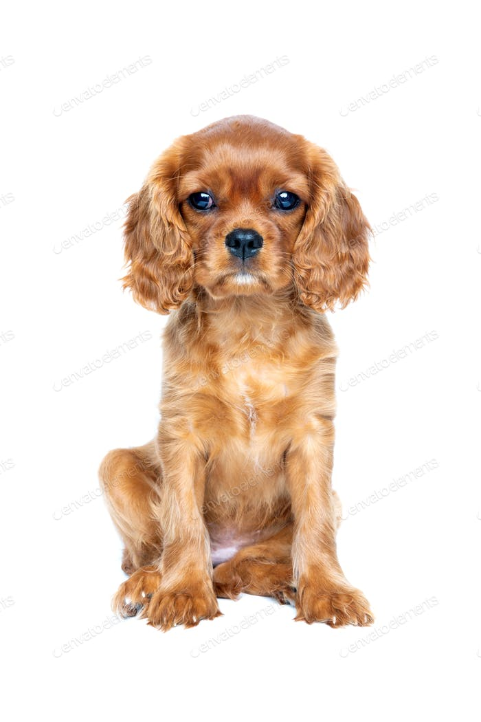 Cavalier spaniel puppy isolated on white background