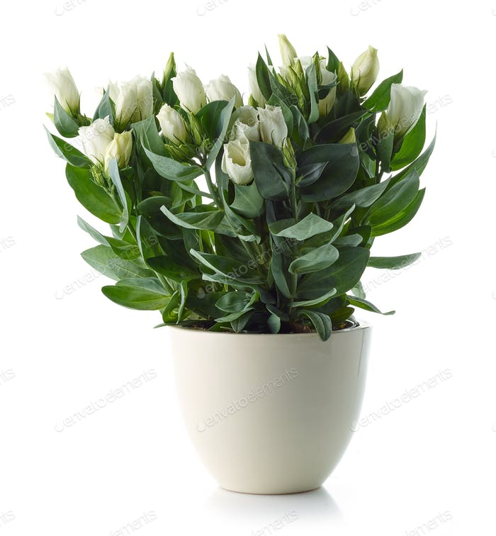 blooming eustoma flower