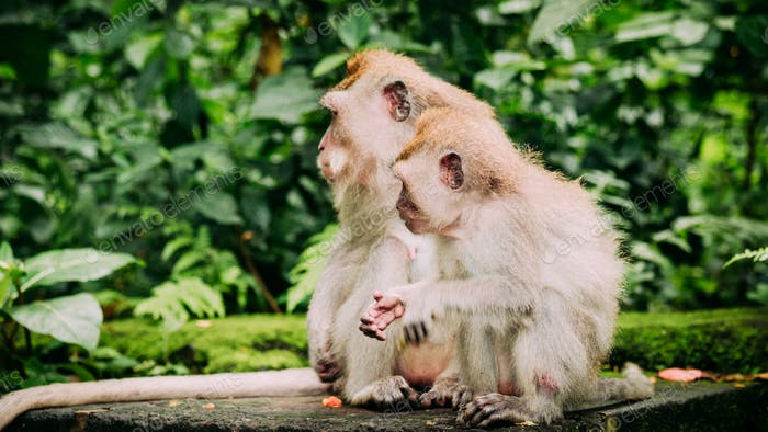 Mother and kid Long-tailed macaque with young ones on forage. Macaca fascicularis, in Sacred Monkey