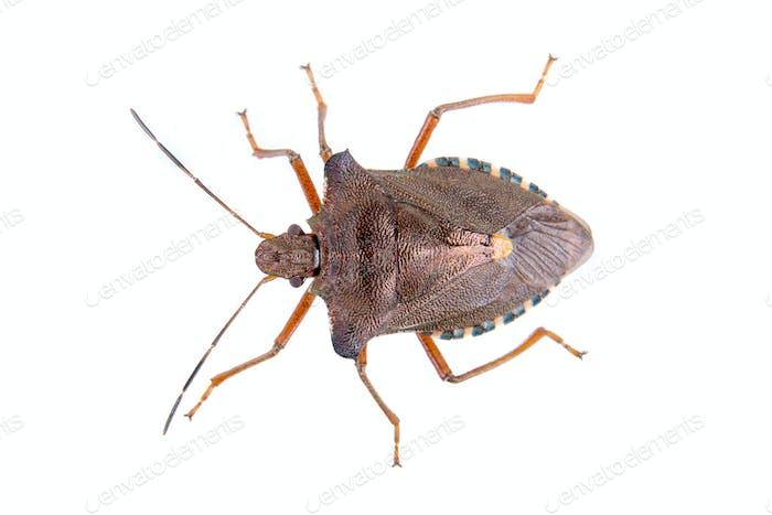 Bug escudo marrón sobre Fondo blanco