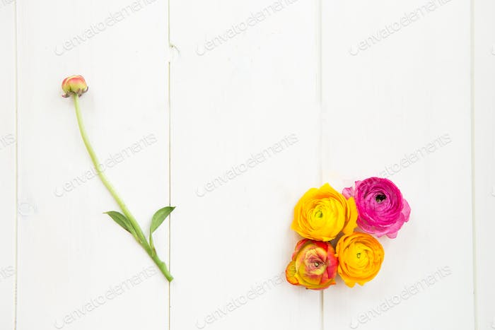 Ranunculus Heads on White Background