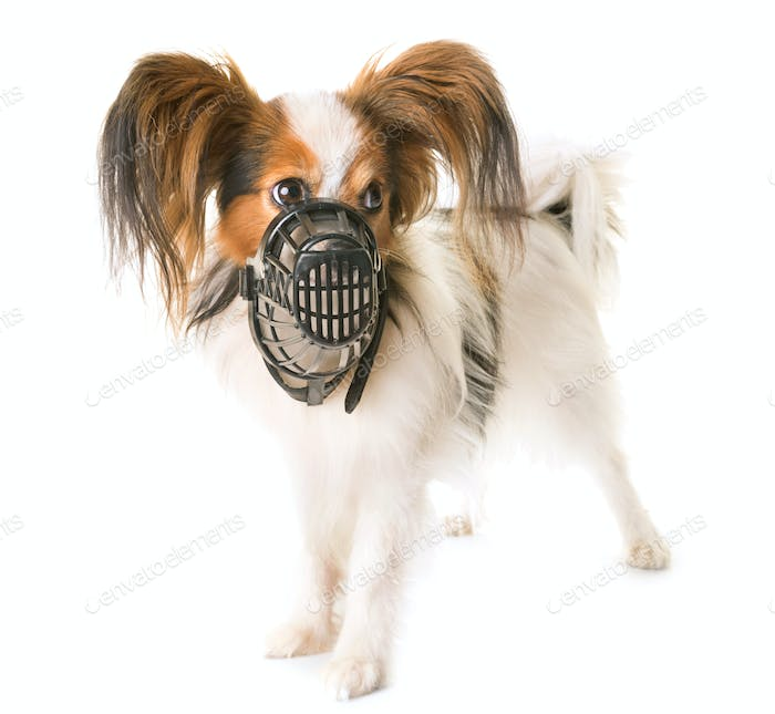 papillon dog and muzzle