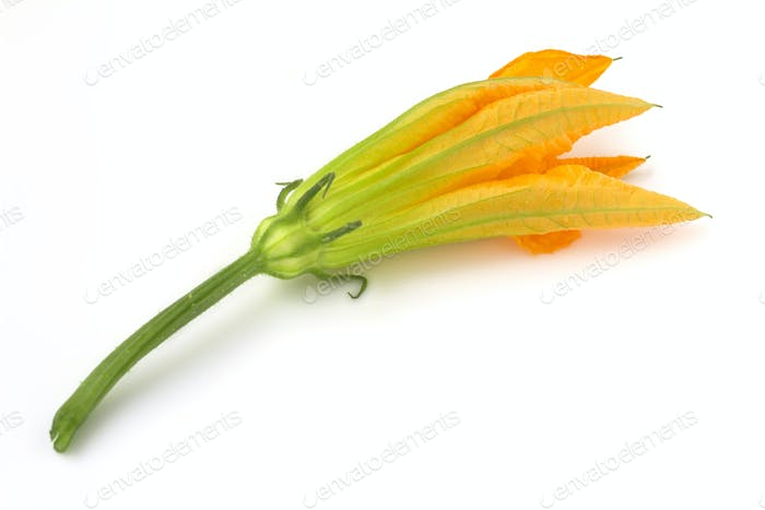 close up of a courgette flower on white background
