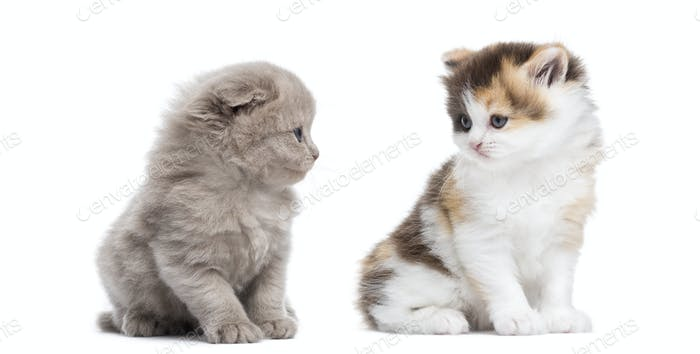 Two Highland straight and fold kittens sitting, looking at each other, isolated on white