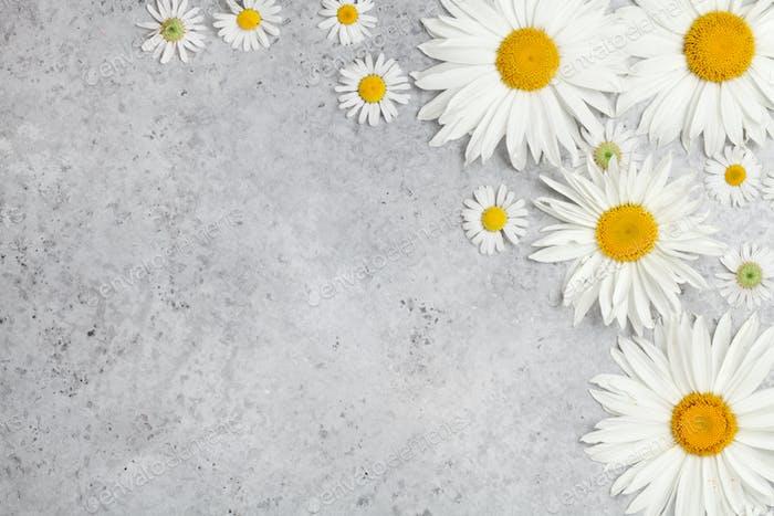 Garden chamomile flowers