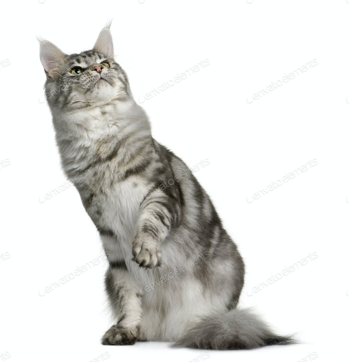 Thumbnail for Maine Coon, 1 year old, sitting with one paw up and looking up in front of white background