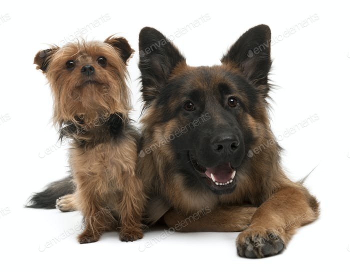 Yorkshire Terrier, 5 years old and German Shepherd, 10 years old, in front of white background