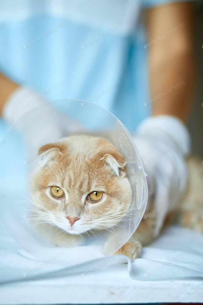 Ветеринар врач делает проверку симпатичной красивой кошки с пластиковым конусным воротником