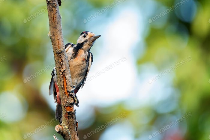 A Syrian woodpecker or Dendrocopos syriacus close