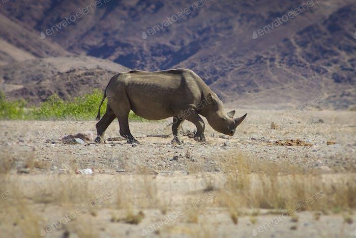 Wild black rhino in the Kaokoland, Namibia