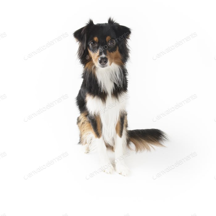 Black Tri Mini Aussie Isolated