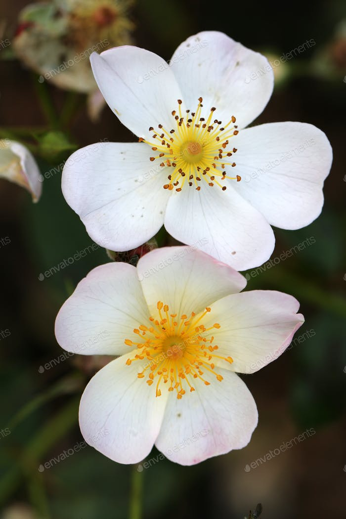 close-up view of beautiful white wild rose flowers blooming in garden