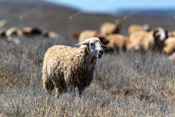 Flock of sheep graze in steppe