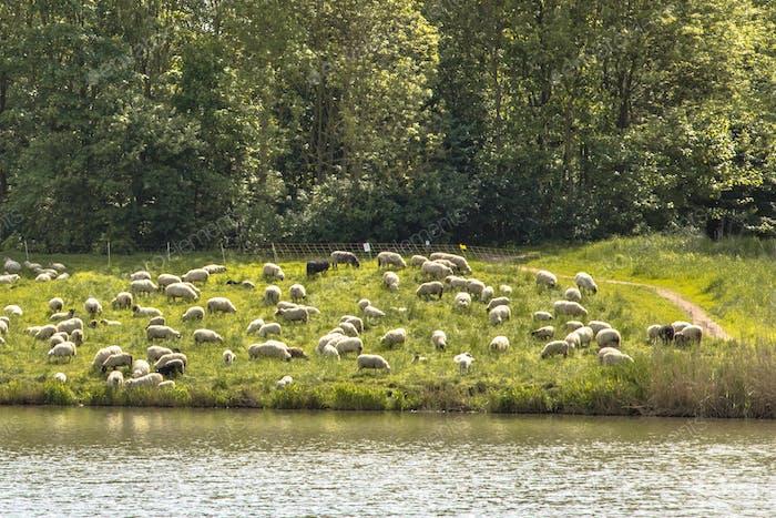 Herd of sheep in city
