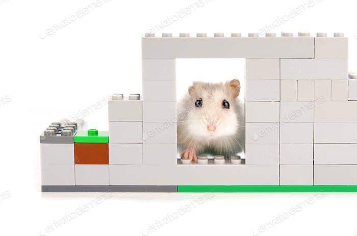 hamster looks