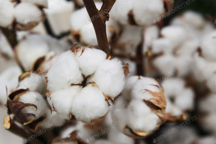 Boxes of cotton on bushes
