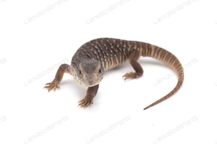 Savannah monitor lizard  isolated on white background