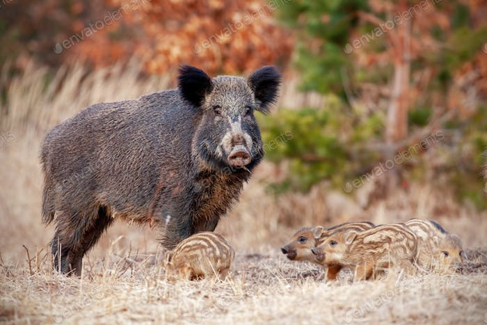 Wild boar family in nature with sow and small stripped piglets