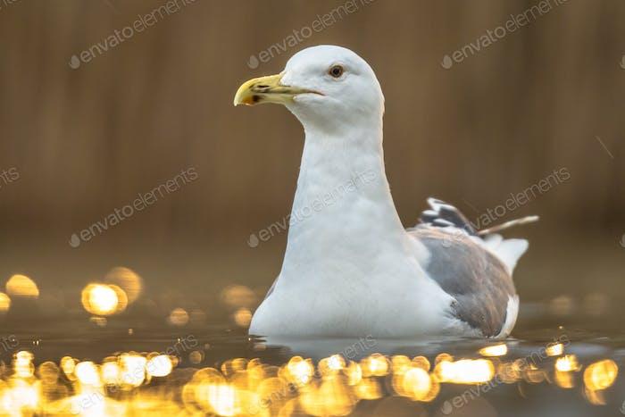 Yellow-legged gull swimming in water