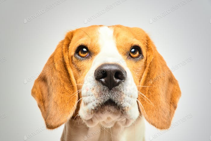 Close-up of Beagle dog, portrait, in front of white background